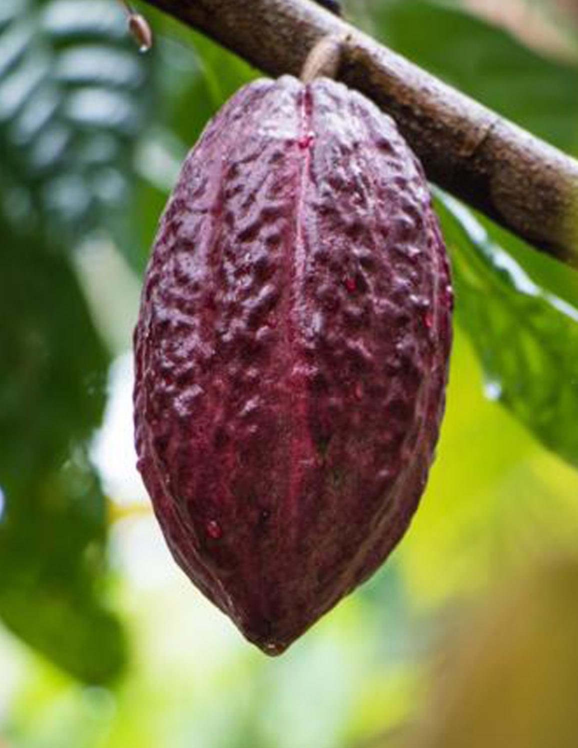 cacao tour de chocolate puerto vallarta y bahía de banderas